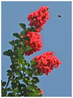 Crape Myrtle with Bee by shawn529