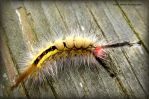 White-marked Tussock Moth Caterpillar by GlassHouse-1