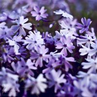 Purple Doubles by NanaPHOTOGRAPHY