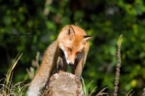 red fox - more by Akaido