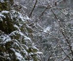 First Tree Dusting of Snow by jules-101