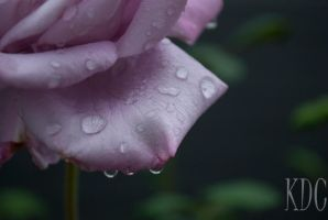 Roses After the Rain by Ducktapedllamas
