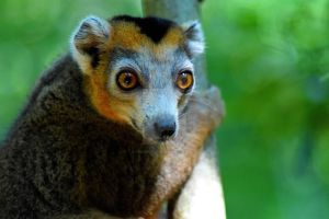 Crowned lemur IV by TheHyleoroi