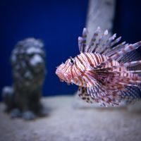 Lionfish by nprkr