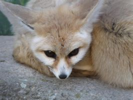 Fennec fox 3 by animalphotos