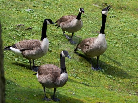 Canada geese by 75ronin