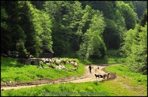 Sheeps in the forest by Ioan-Stoenica