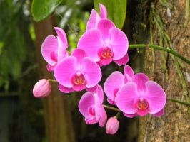 Pink Orchids by RiverKpocc