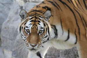 Toronto Zoo female Amur tiger by Eternalfall1