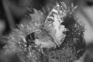 Butterfly in black and white by Laur720