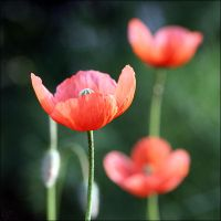 Coquelicots .... by pourquoipas