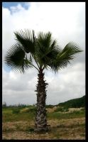 Palm Tree by ogghunter