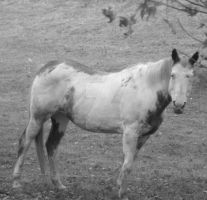 Black and white horse by Catsie95