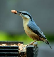 Nuthatch 3 replaced by Tinap