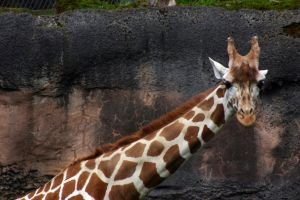 Reticulated Giraffe by LittleTurtleDuck