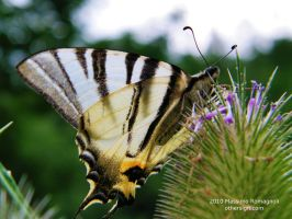Butterfly Sail Swallowtail by Othersign