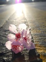 Cherry Blossom Street by FloRidity