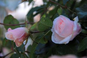 February rose 6 by yasminstock