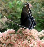 Red Spotted Purple 08 by Thy-Darkest-Hour