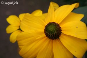 Yellow Flower! by Koyukichi