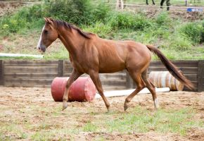 KM QH uphil trot side view by Chunga-Stock