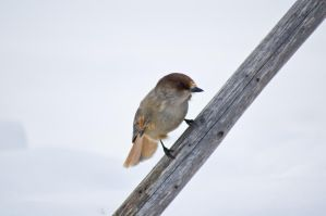 Siberian Jay by TeXual