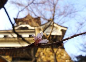 Inuyama blossom by moldypotatoes