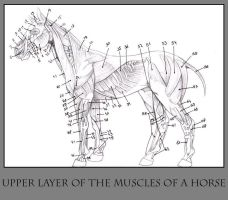 Anatomy of the Horse pt.1 by daisyamnell