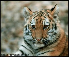 striped cub by morho