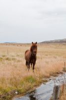 icelandic horse by Lain-AwakeAtNight