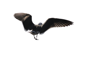 Seagull Png Precut 1 by FQPhotography