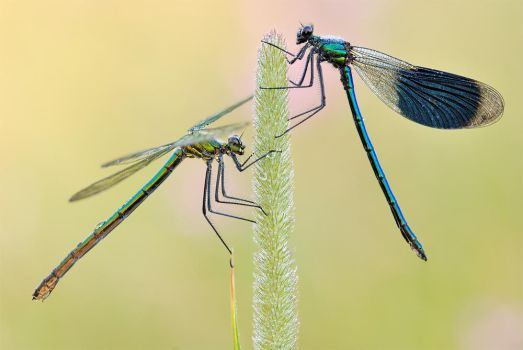 gracile beauties by MartinAmm