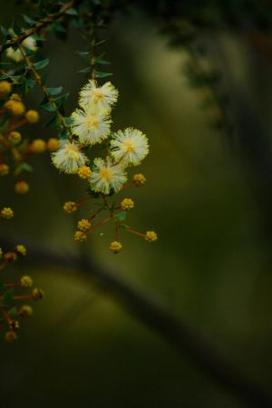Puffs of Wattle by szekley