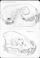 Animal Skulls 15-16 Black-footed ferret/Hyena by warpeddesire