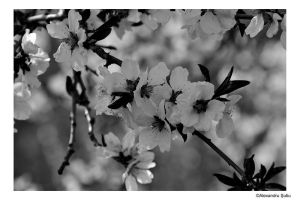 Black and White Blossom by RavenNightWish