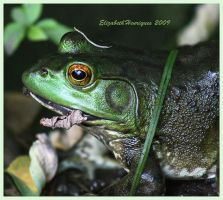 Green frog by mariquasunbird1