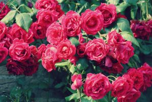 Roses by FineFien