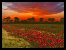poppy field by Hartmut-Lerch