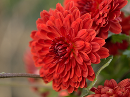 .:Blood Red Chrysanthemum:. by bogdanici