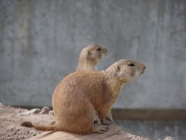 Really Cute Prairie Dog 6 by FantasyStock