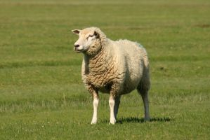 Sheep Stock 03 by Malleni-Stock