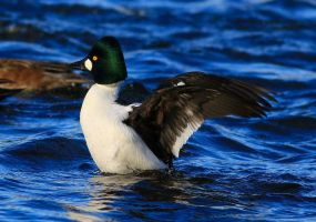 Goldeneye Duck by Somnp