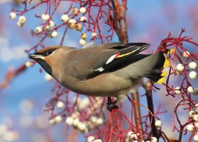Waxwing by Albi748