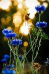 Cornflowers and Sunset by leruswing