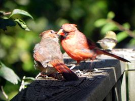 The Cardinal father feeds the little ones too! by Lou-in-Canada