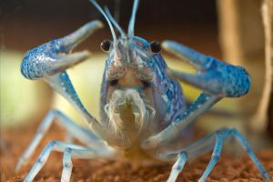 Blue Florida Lobster by Flashback981