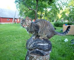 Tabby on a Stump 04 by K1ku-Stock