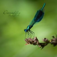 Damselfly by thogro