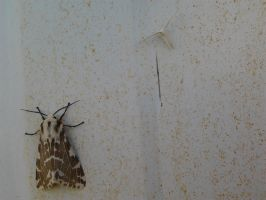 Light Ermine moth and Plume Moth by Drhoz