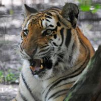Slightly amused tiger by NB-Photo